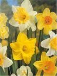 daffodils lenafusion.gr