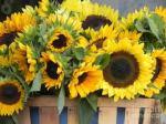 sunflower picture lenafusion.gr